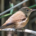 Reed Warbler (Acrocephalus scirpaceus) at Pre d'Enfer by Rock.Dweller