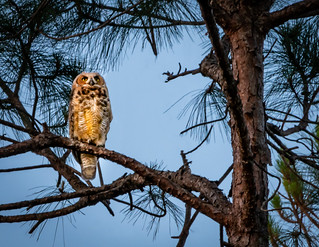 Honorable Mention - John Pascucci - Wise Old Owl Picks Palm Coast as Home
