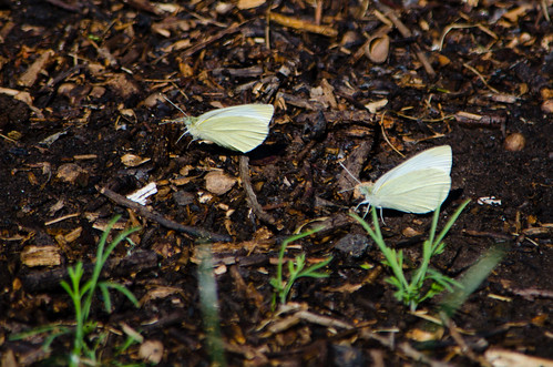 Getting together: large white butterflies