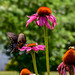 Spicebush Swallowtail Butterfly with Echinacea by thatSandygirl
