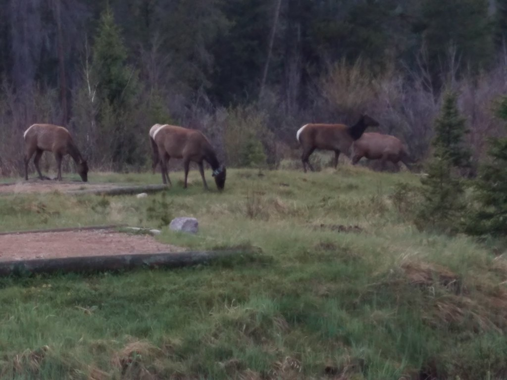 Elk at Timber Creek Campground, RMNP.