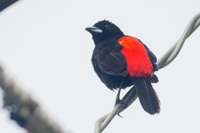 Cherrie's Tanager - male