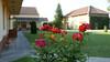 Rote Rosen im Heimathaus