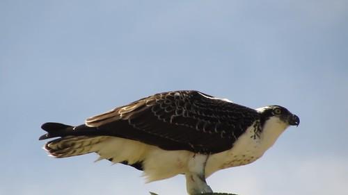 Osprey (Pandion haliaetus), Oso Flaco, CA