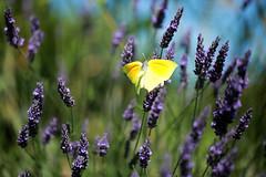 Les ailes déployées du citron de Provence
