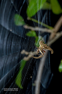 Tree stump orb weaver (Poltys furcifer) - DSC_5037