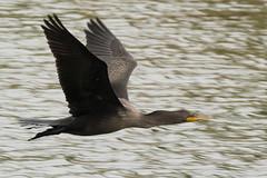 DSC_6939.jpg Double-crested Cormorant, San Lorenzo River