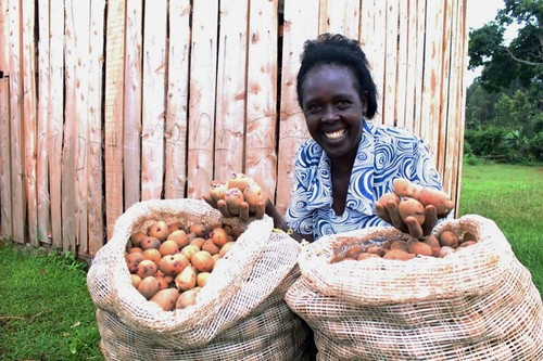 VPA Mary Kinya holding well sprouted seed potato (Konjo variety) harvested from rooted cuttings in October 2017. The potato had been sprouted in her Diffuse Light Store (pictured in the background)