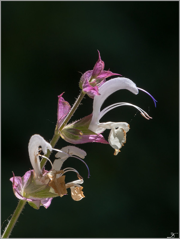 Jardin botanique Saverne: Rampants et fleurs 43040192582_23f0f7c066_c