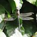 Hairy Dragonfly - Brachytron pratense (m)