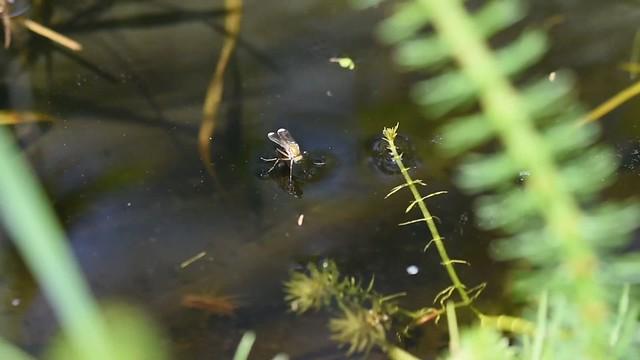 signal flies males