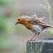 Robin - Gardener's Friend