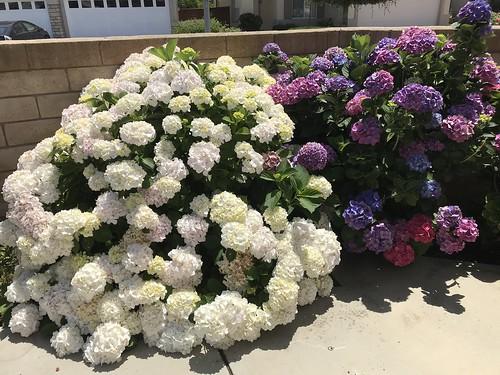 繡球花 (hydrangea)