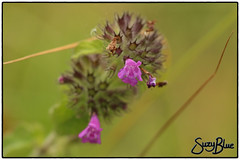 Wild Basil