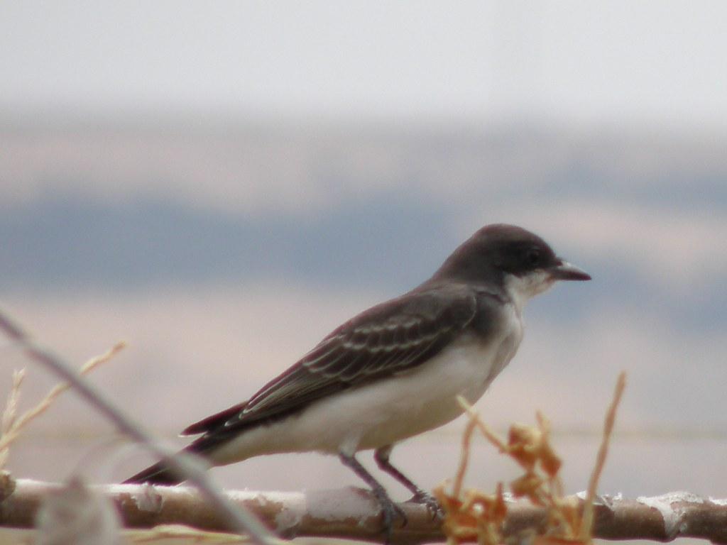 P8180989...Eastern Kingbird