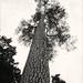 Scots Pine at Westonbirt Arboretum.