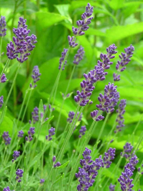 Lavendula angustifolia 'Aromatico Blue'