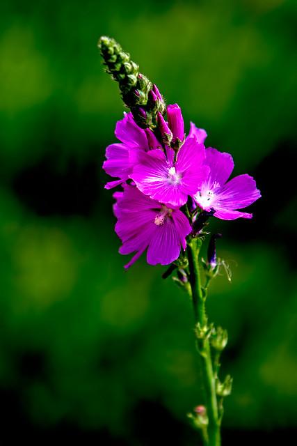 Wild-Flower-12-7D1-070518