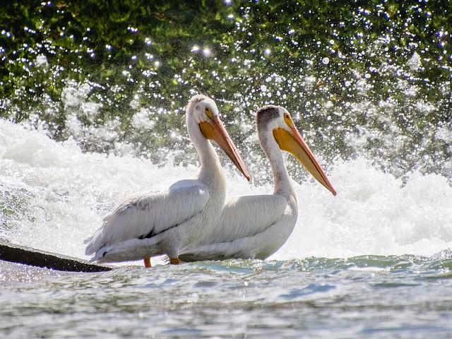 pelican pals