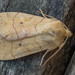 Angle-striped Sallow