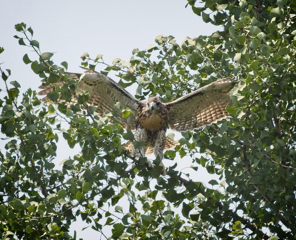 Tompkins hawk chick #1