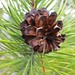 <p><a href=&quot;http://www.flickr.com/people/sodaigomi/&quot;>sodai gomi</a> posted a photo:</p>&#xA;&#xA;<p><a href=&quot;http://www.flickr.com/photos/sodaigomi/41970090905/&quot; title=&quot;Lodgepole Pine Cone&quot;><img src=&quot;http://farm2.staticflickr.com/1828/41970090905_4355596255_m.jpg&quot; width=&quot;180&quot; height=&quot;240&quot; alt=&quot;Lodgepole Pine Cone&quot; /></a></p>&#xA;&#xA;<p>Lassen Volcanic National Park</p>