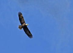 An American bald eagle soars through the air. Original from NASA. Digitally enhanced by rawpixel.