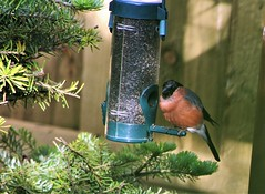 Bullfinch   (maybe needing to go on a diet?)