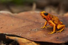 Diablito Poison Frog (Oophaga sylvatica)