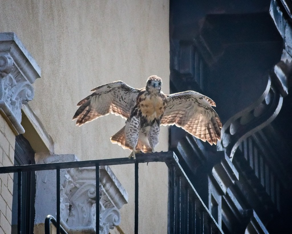 Tompkins fledgling A2 frolicks on a fire escape