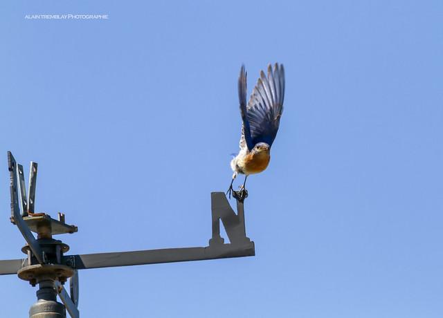 Merlebleu de l'Est Sialia sialis - Eastern Bluebird