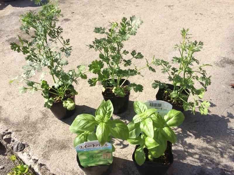 Planting Basil and Pak Chi