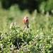 Linnet bird (2)