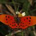 Fiery Acreae - Acraea acrita acrita, Gorongosa National Park, Mozambique by judygva