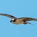 Osprey #103 by lennycarl08