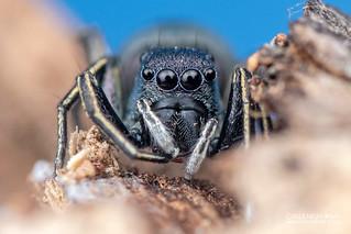 Jumping spider (Mexcala cf. elegans) - DSC_4629