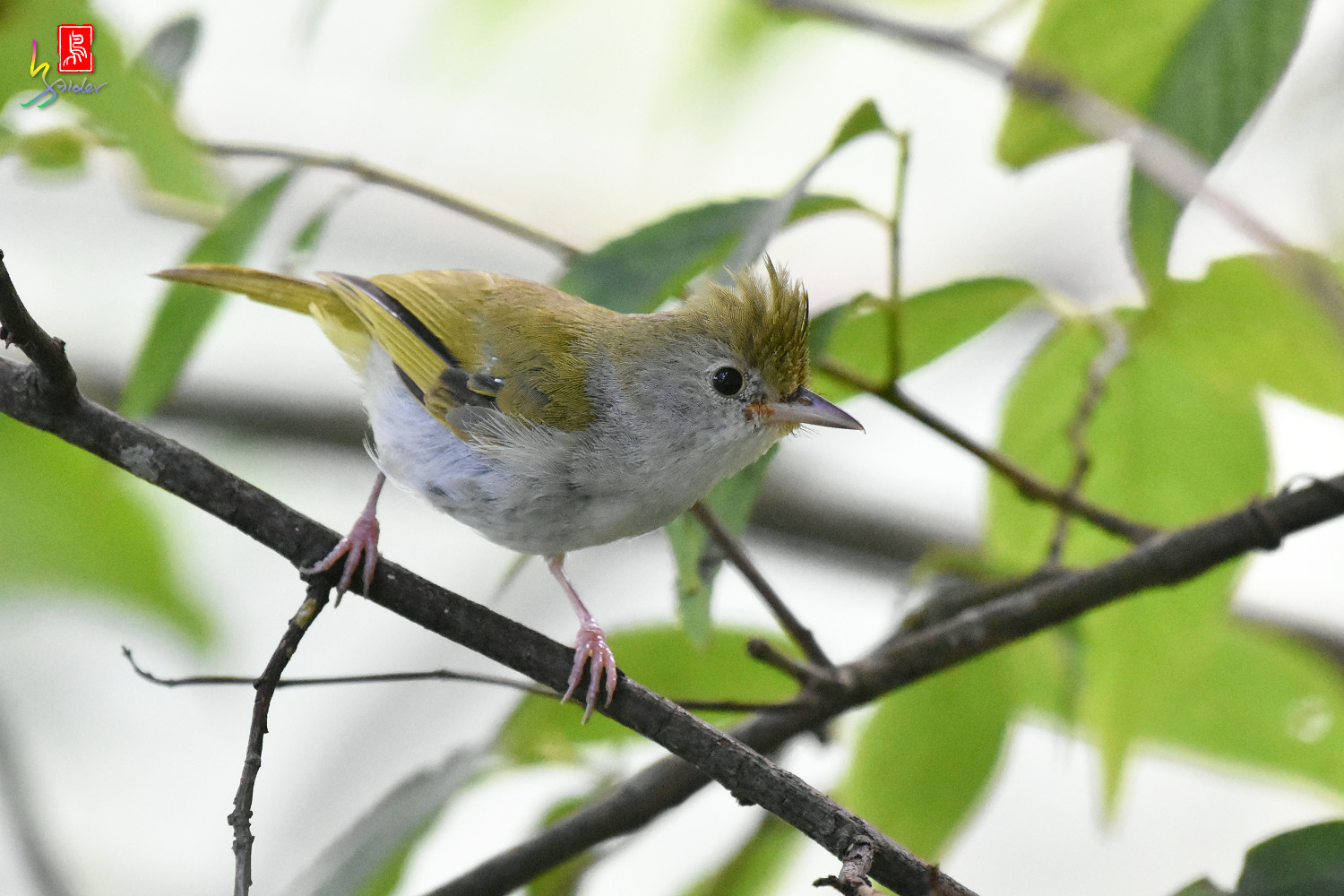 White-bellied_Yuhina_9866
