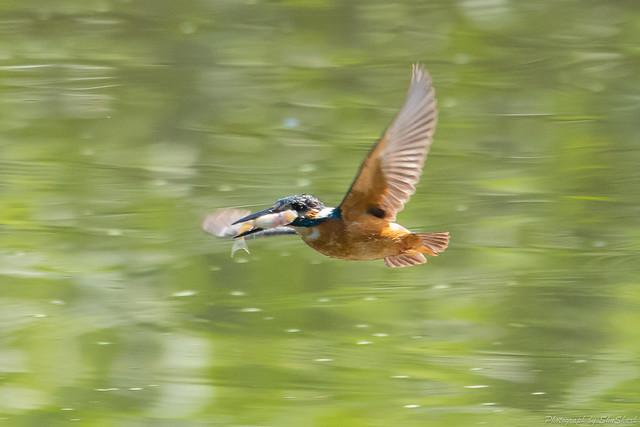 20180714-kingfisher-DSC_6181