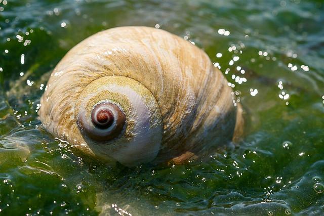 Moon Snail in Water