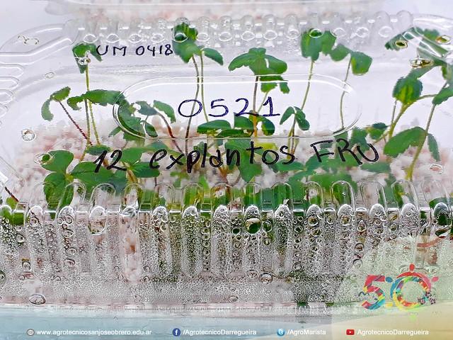 Comparación de diferentes técnicas de producción de plantines de Frutilla (Fragaria)