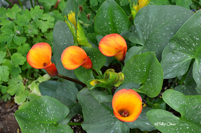 zantedeshia-calla-lily-coastal-flame