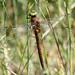 Norfolk Hawker (Anaciaeschna isoceles)