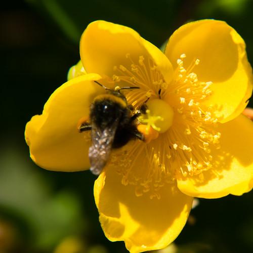 Heavy-laden visitor: bumblebee, St John's wort