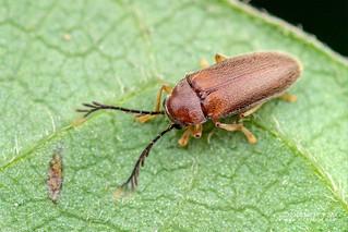 Toe-winged beetle (cf. Ptilodactyla) - DSC_5347