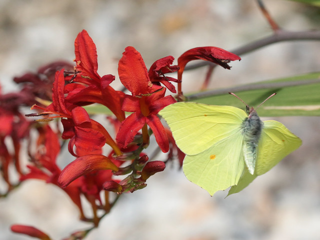 Brimstone butterfly in flight, with crocosmia