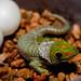 Day Gecko Hatchling
