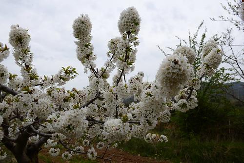 DAV_0693 Cherry blossoms