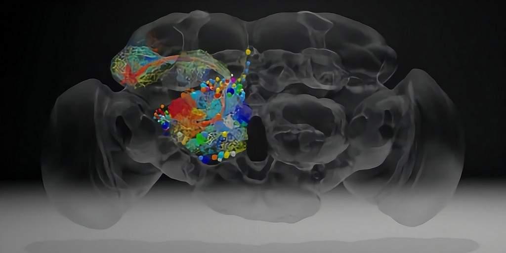 Des chercheurs ont «imagé» le cerveau d'une mouche