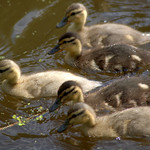 Baby ducks on the canal - 1