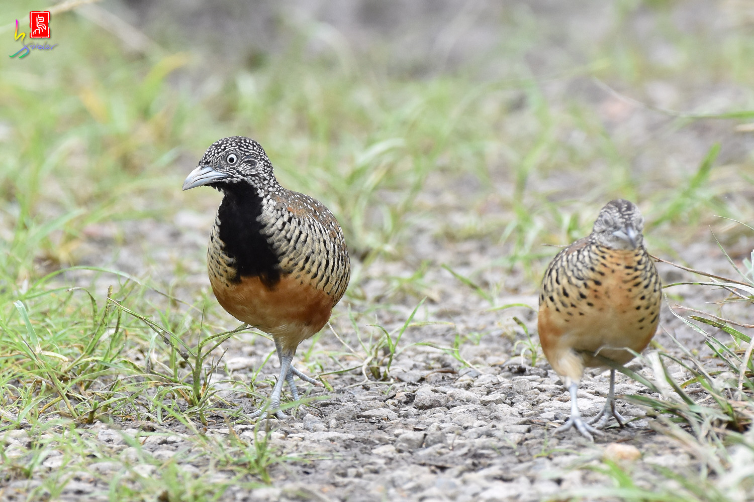 Barred_Buttonquail_5062